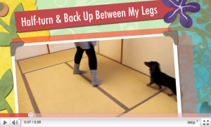 Blind Doxie Nono's New Trick (Freestyle Move) - Half-turn And Back Up Between My Legs